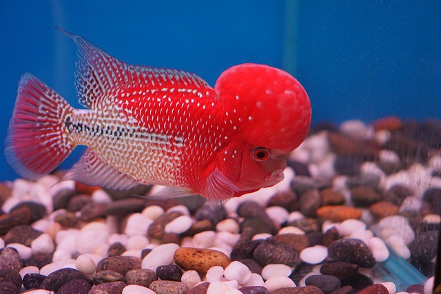 Super Red Monkey Flowerhorn Fish - VKKF08 VIP Red Kamfa ⋆ Tin Tran