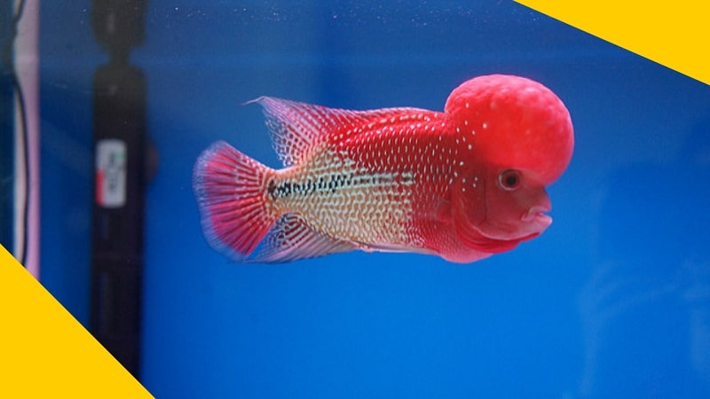 Super Red Monkey Flowerhorn Fish - VKKF08 VIP Red Kamfa