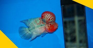 Super Red Monkey Flowerhorn Fish - VKKF08 VIP Red Kamfa