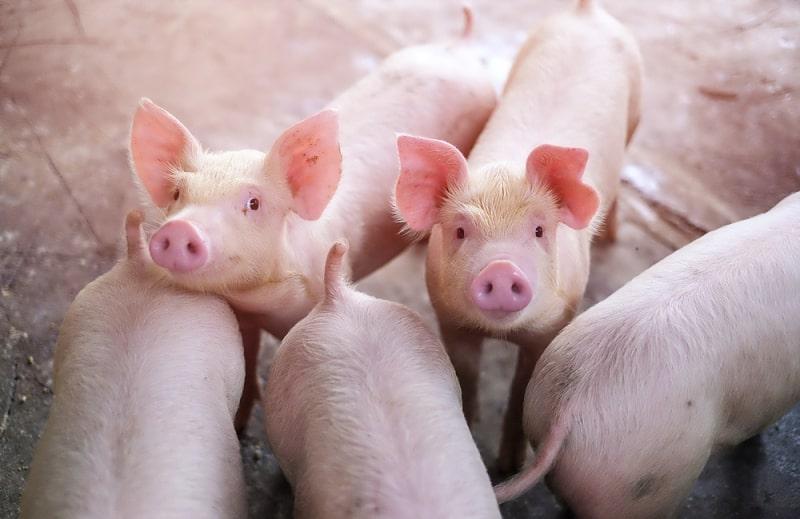 heo pigs